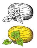 Illustrazione del melone Immagine Stock
