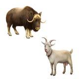 Illustrazione del muschio-bue Capra che sta su isolata royalty illustrazione gratis