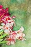 Illustrazione del oleander dell'annata illustrazione vettoriale
