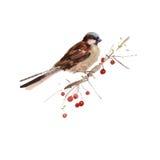 Illustrazione del passero dell'acquerello Immagine Stock Libera da Diritti