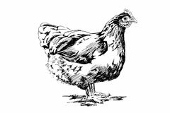 Illustrazione del pollo Fotografia Stock Libera da Diritti