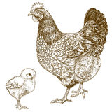 Illustrazione del pollo e del pulcino dell'incisione Immagini Stock Libere da Diritti