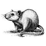 Illustrazione del ratto dell'incisione su fondo bianco Immagini Stock Libere da Diritti