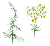 Illustrazione dell'acquerello con il wildflower Fotografia Stock