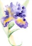 Illustrazione dell'acquerello dell'iride Immagini Stock