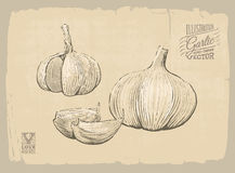Illustrazione dell'aglio Fotografia Stock