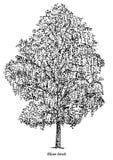 Illustrazione dell'albero di betulla d'argento, disegno, incisione, inchiostro, linea arte, vettore Fotografie Stock Libere da Diritti
