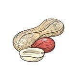 Illustrazione dell'arachide di vettore su fondo bianco Fotografia Stock