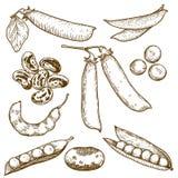 Illustrazione dell'incisione dei fagioli e dei piselli Immagini Stock
