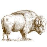 Illustrazione dell'incisione del bisonte Fotografie Stock