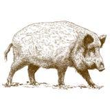 Illustrazione dell'incisione del cinghiale Immagini Stock Libere da Diritti