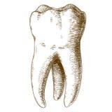 Illustrazione dell'incisione del dente umano Immagine Stock Libera da Diritti