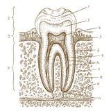 Illustrazione dell'incisione del diagramma umano del dente Fotografie Stock