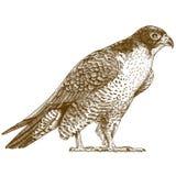 Illustrazione dell'incisione del falco Fotografia Stock Libera da Diritti