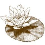 Illustrazione dell'incisione del fiore della ninfea Fotografie Stock Libere da Diritti