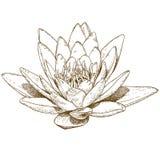 Illustrazione dell'incisione del fiore della ninfea Fotografia Stock