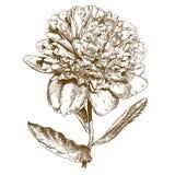 Illustrazione dell'incisione del fiore della peonia Immagini Stock Libere da Diritti
