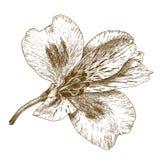 Illustrazione dell'incisione del fiore di alstroemeria Immagini Stock Libere da Diritti