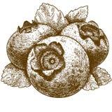 Illustrazione dell'incisione del mirtillo con le foglie Immagini Stock Libere da Diritti