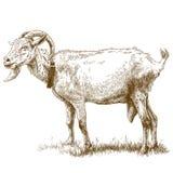 Illustrazione dell'incisione della capra Fotografia Stock