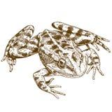 Illustrazione dell'incisione della rana Immagine Stock Libera da Diritti