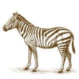 Illustrazione dell'incisione della zebra Immagine Stock Libera da Diritti