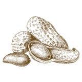 Illustrazione dell'incisione delle arachidi sgusciate Fotografie Stock Libere da Diritti
