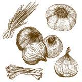 Illustrazione dell'incisione delle cipolle Fotografie Stock Libere da Diritti