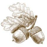 Illustrazione dell'incisione delle ghiande Immagine Stock Libera da Diritti