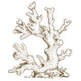 Illustrazione dell'incisione di corallo Immagini Stock