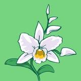 Illustrazione dell'orchidea Immagini Stock Libere da Diritti