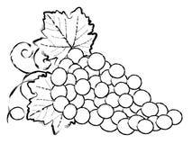 Illustrazione dell'uva Fotografie Stock Libere da Diritti