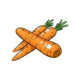 Illustrazione della carota di vettore su fondo bianco Fotografie Stock