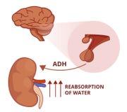 Illustrazione della funzione dell'ormone antidiuretico Fisiologia della vasopressina illustrazione di stock