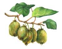Illustrazione della pianta Actinidia chinensis del kiwi un ramo con le foglie ed i frutti illustrazione vettoriale