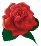 Illustrazione della rosa rossa Fotografie Stock