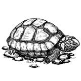 Illustrazione della tartaruga dell'incisione su fondo bianco Fotografia Stock Libera da Diritti