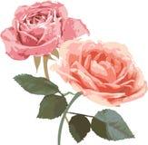 Illustrazione delle rose dell'annata Fotografie Stock
