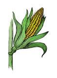 Illustrazione dello schizzo del gambo del grano del cereale Immagine Stock Libera da Diritti