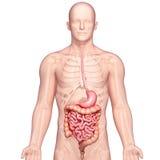 Illustrazione di anatomia dello stomaco umano con il corpo Immagini Stock Libere da Diritti