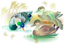 Illustrazione di bello nuoto della famiglia delle anatre in uno stagno Fotografia Stock
