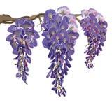Illustrazione di fioritura porpora di vettore di glicine Fotografia Stock