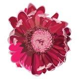 Illustrazione di fioritura rosa di vettore del Protea Fotografia Stock Libera da Diritti