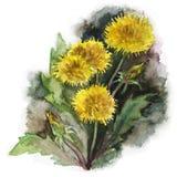 illustrazione di giallo dell'acquerello dei denti di leone Immagini Stock Libere da Diritti