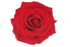 Illustrazione di rosa di colore rosso piacevole sopra bianco Immagine Stock Libera da Diritti