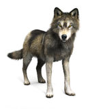 Illustrazione di un lupo marrone su un fondo bianco Fotografia Stock Libera da Diritti