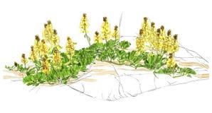 Illustrazione di un wildflower Fotografia Stock Libera da Diritti