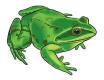Illustrazione di una rana Immagini Stock Libere da Diritti