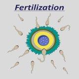 Illustrazione di uno sperma femminile di fecondazione dell'uovo Immagini Stock Libere da Diritti