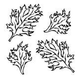 Illustrazione di vettore del prezzemolo Herb Green Leaves, dell'alimento e dei condimenti Fotografie Stock